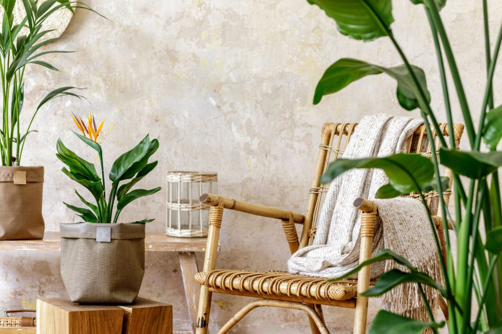 Neutral composition of living room interior with rattan armchair, wooden bench, a lot of tropical plants in design pots, decoration and elegant personal accessories in stylish home decor.